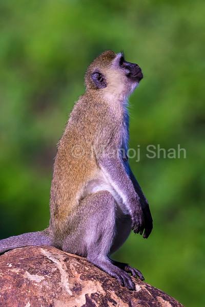 Vervet monkey looking up at a flying bird.