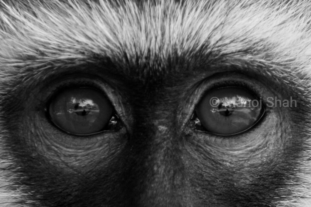 Vervet Monkey eyes