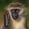 Vervet monkey scratching ear