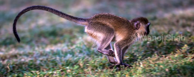 Vervet Monkey running