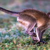 Vervet Monkey running
