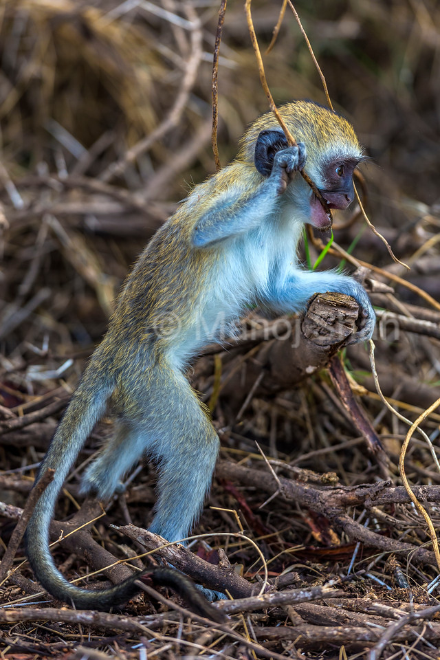 Vervet monkey youngster playing on a brach in Amboseli National Park.