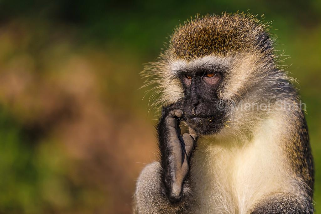 Vervet monkey scratching ear