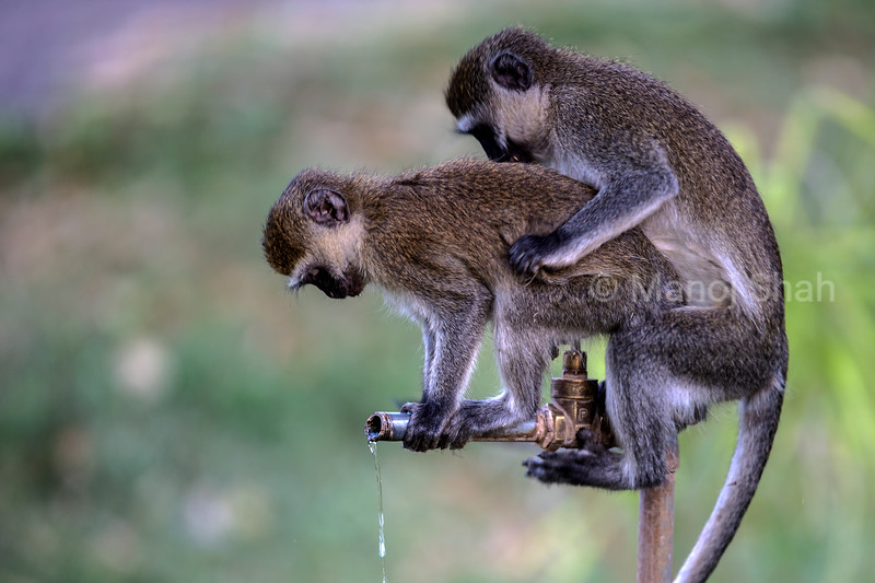 Vervet monkeys mating while drinking tap water