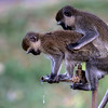 Vervet monkeys mating while drinking tap water