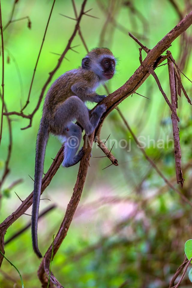 Vervet monkey youngster