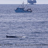 Balaenoptera acutorostrata vessel fishing Golden Eagle Platform Habitat 2010 12-28 SB Channel - 005-1