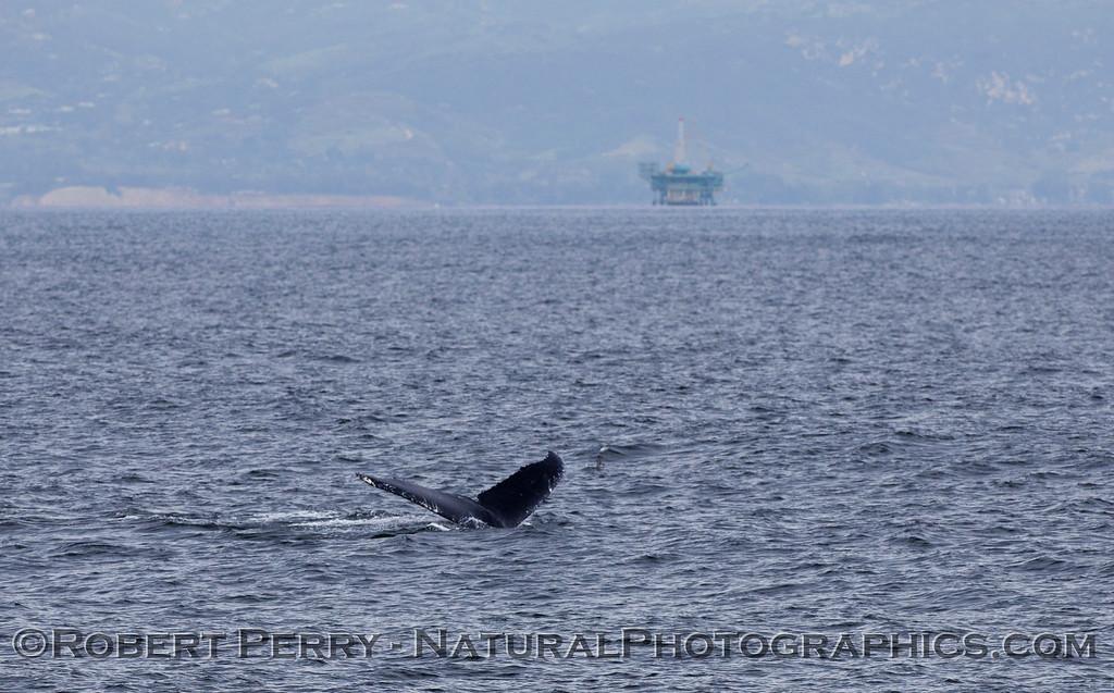 Megaptera novaeangliae & oil platform 2011 03-19 SB Channel - 118-1