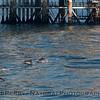 Delphinus capensis & Platform Holly close 2010 04-07 SB Channel - 006-1