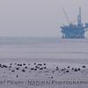 bird line on water Oil Platform in back 2009 09-19 SB Channel c - 006-1