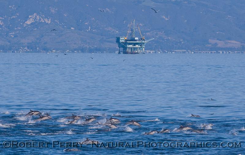 Delphinus stampede & Platform Habitat in back 2010 11-26 SB Channel - 251-1