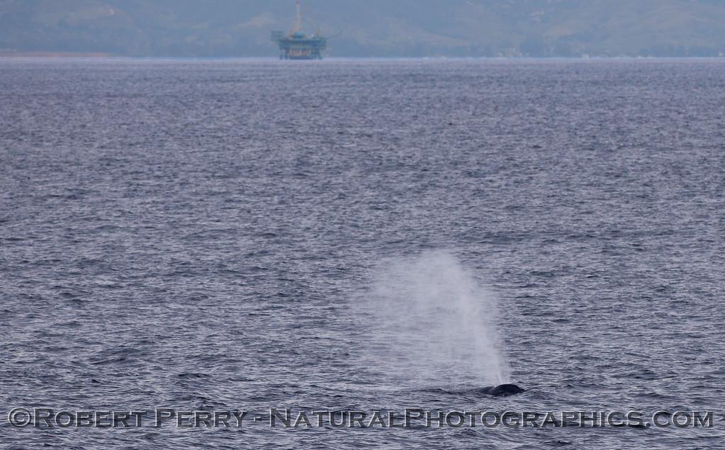 Megaptera novaeangliae & oil platform in back 2011 03-19 SB Channel - 116-1
