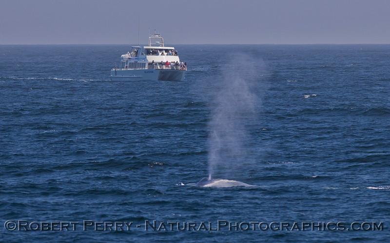 Balaenoptera musculus & vessel Islander 2011 07-26 SB Channel  c - 004