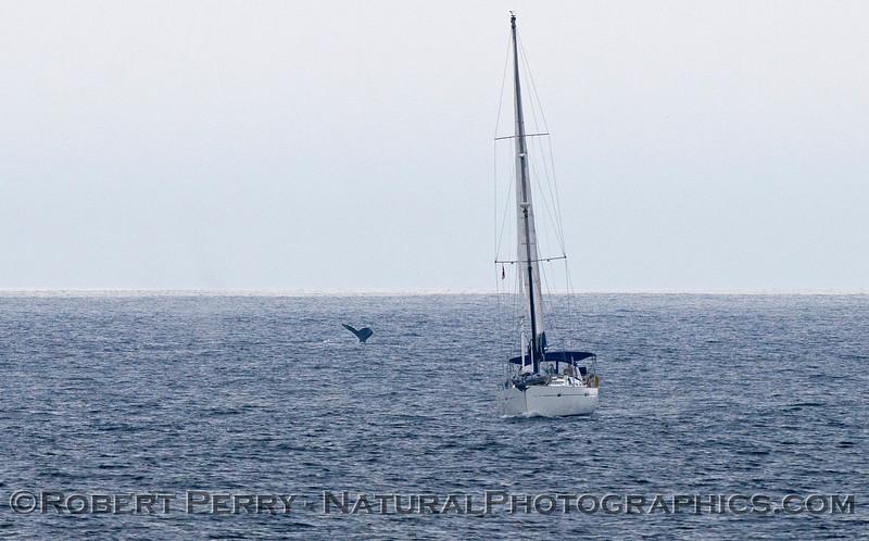 Megaptera novaeangliiae & vessel sail boat 2011 04-02 SB Channel a - 310