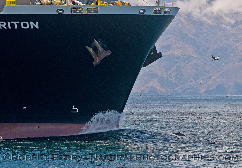 Delphinus capensis & vessel NYK Triton container cargo 2015 05-15 SB Channel-025