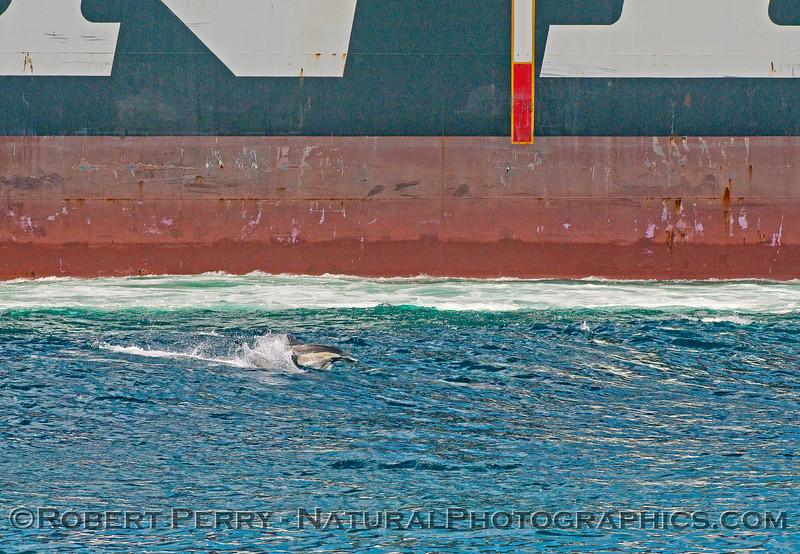 Delphinus capensis & vessel NYK Triton container cargo 2015 05-15 SB Channel-042
