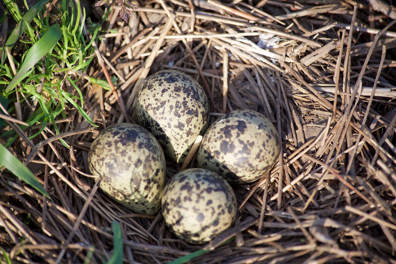 Kievit nest