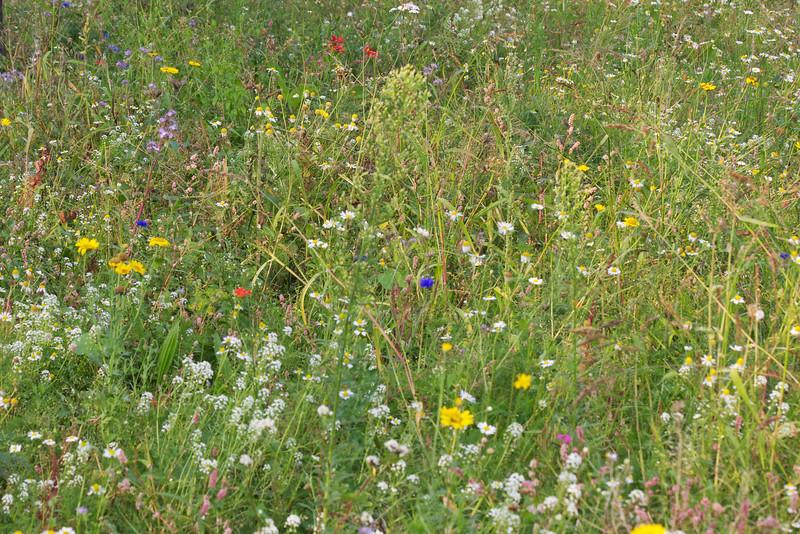 Wild flower meadow Vessem