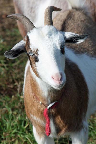 annalisepetphoto goat IMG_8669