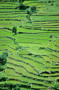 Rice fields in the Terai Region, Nepal