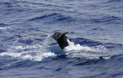 Whales in Oahu, Hawaii