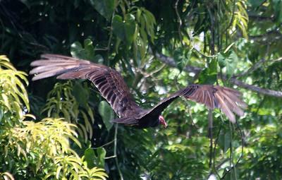 Vulture, Panama
