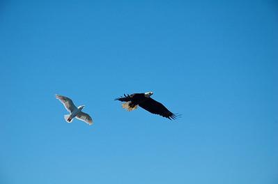 ... inmediatamente las gaviotas salieron a perseguir al águila...