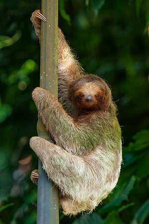 Who wants to be fast when you can be cute?   (Three-toed sloth in Costa Rica. There two different species of sloths:  two and three toed sloths. All the Sloths have three toes but only Three-toed have three fingers... :) )
