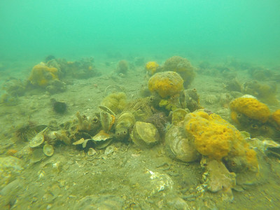 Remnant Native flat oyster (Ostrea angasi) reef, Geelong Arm, Port Phillip Bay, Victoria, 2016
