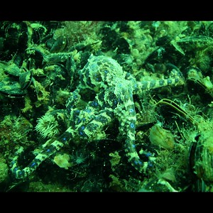Blue Ring Octopus Hapalochlaena maculosa on Mussel Beds,