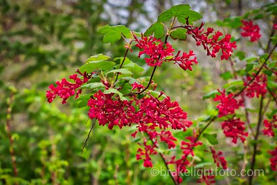 Red Flowering Currant - Ribes sanguineum