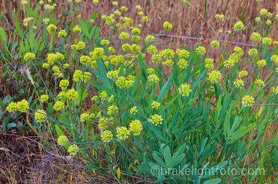 Barestem Desert-Parsley - Lomatium nudicaule