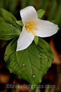 Western Trillium - Trillium ovatum