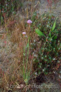 Sea Blush - Plectritis conjesta