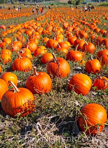 Pumpkins at Michell Farm