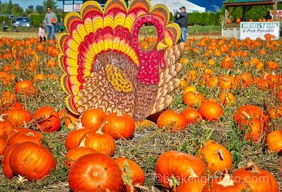 Pumpkins at Michell Farm
