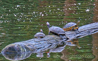 Beacon Hill Park Turtles