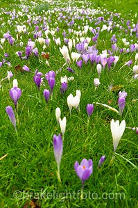 Crocus' in Beacon Hill Park