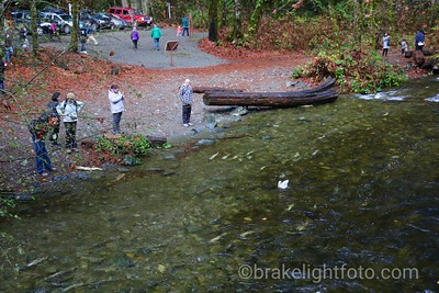 Goldstream Salmon Run