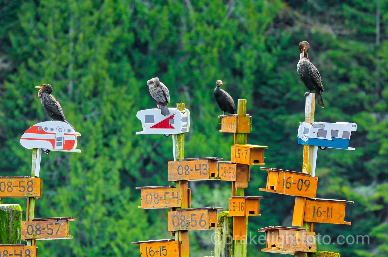 Cormorants on Tod Inlet Purple Martin Houses