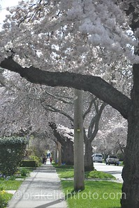 Ornamental Cherry Blossoms on Moss St