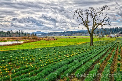 Daffodil Field in Central Saanich