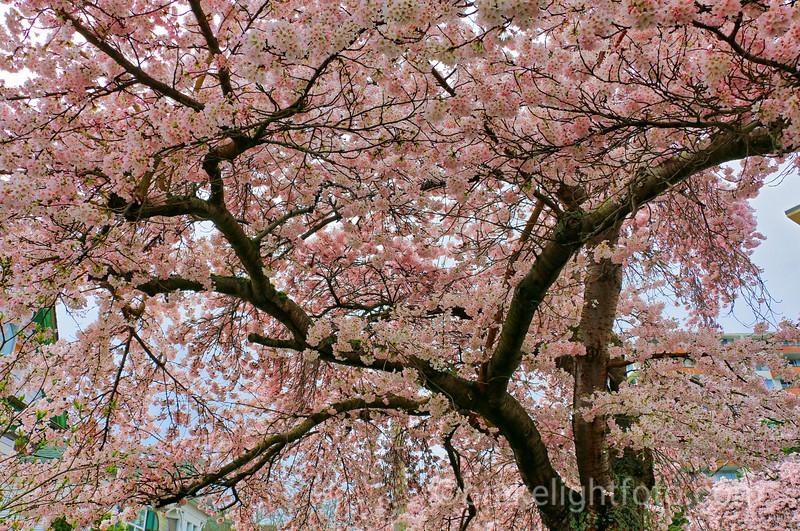 Ornamental Cherry Blossoms