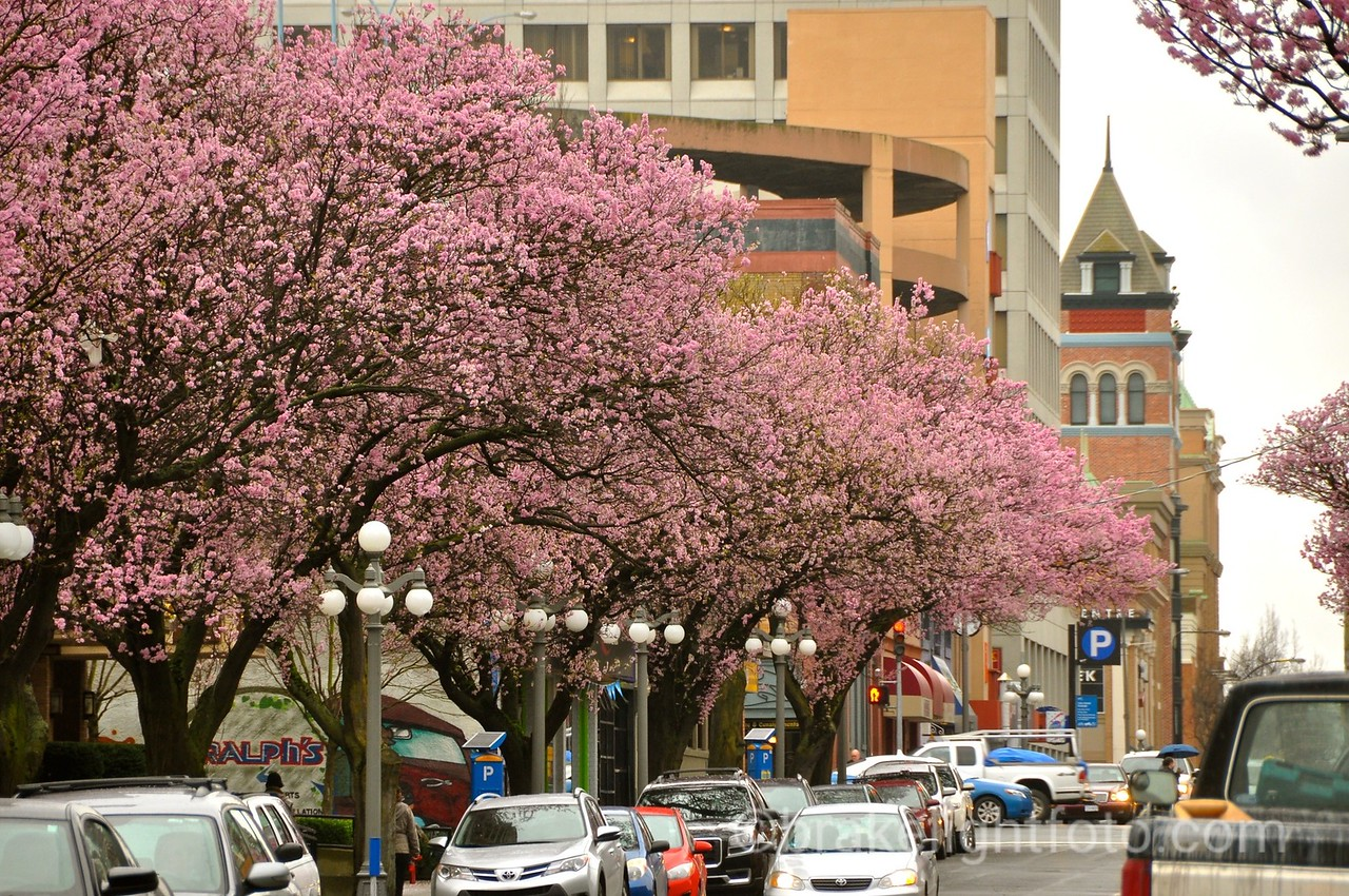 Cherry Blossoms Downtown