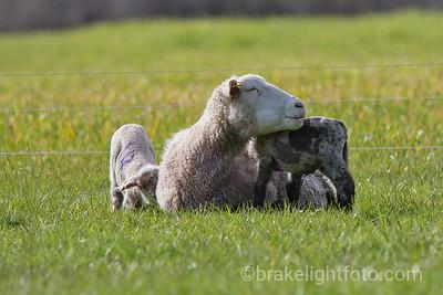Mechosin Lambs