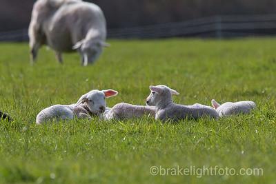Metchosin Lambs