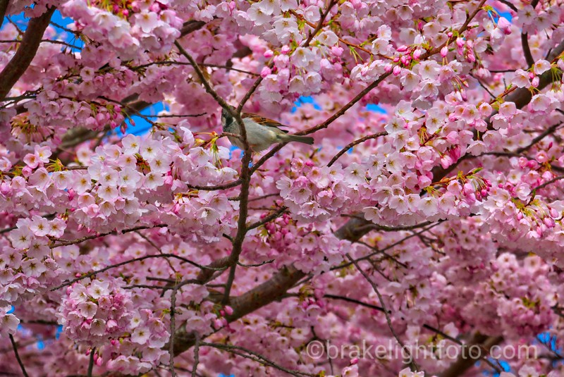 Ornamental Cherry Blossoms