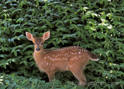 Black Tailed Fawn