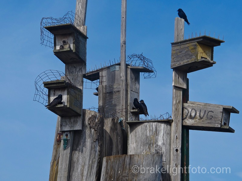 Purple Martin bird houses in Westbay