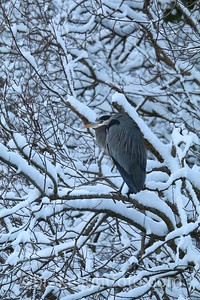 Great Blue Heron in the Snow